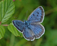 http://www.wildlifeextra.com/images/LargeBlue_(Jim-Asher_Butterfly-Conservation).JPG